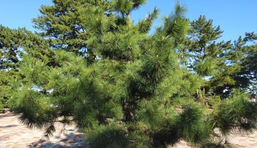 OPPO A5 2020で撮った写真 松の木
