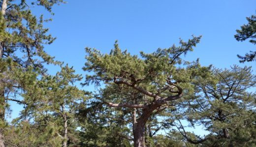 moto g8 plusで撮影 松の木